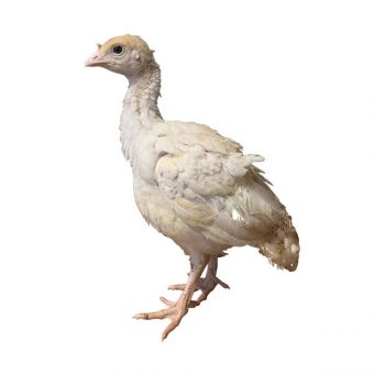 Off Heat White Turkey Poults