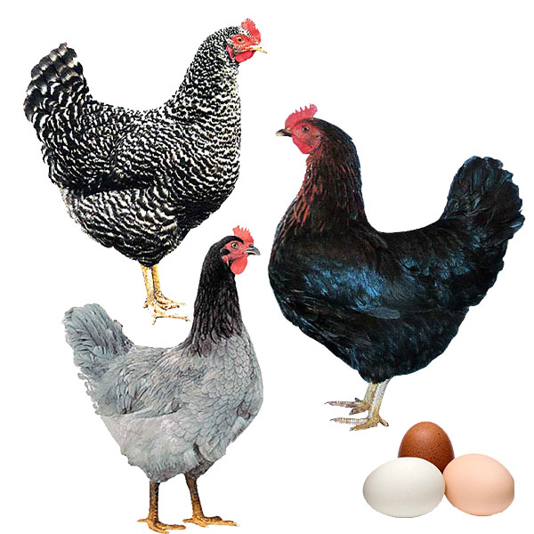 Poultry Information